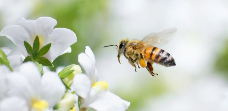 マヌカの花からマヌカハニーを集める蜂について教えて! - マヌカハニーの通販サイト BeeMe